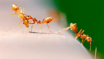 hormigas rojas caminando