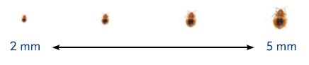 tamaño de chinches de nimfa a adulta
